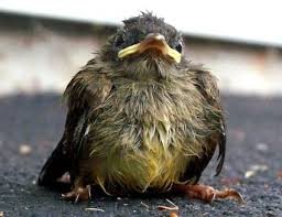 Baby Bird Age Chart Stages Of A Baby Bird Growth And Maturity