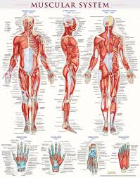 Muscular System Poster Laminated 9781423220664