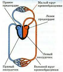 Кровеносная и дыхательная система млекопитающих Биология  Рис 244 Материал с сайта ru Кровеносная система млекопитающих