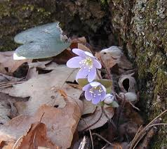 Image result for swaying mayflower plants