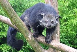 Small Picture Binturong Wikipedia