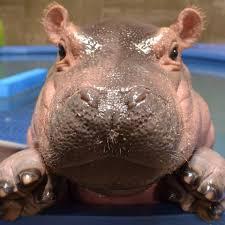Happy hippos on tour crack - Jeux pour PC