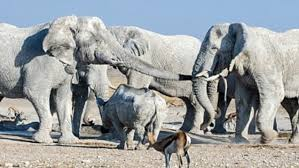 white elephant animal.  Animal Two Massive White Elephants Of Etosha Lock Their Horns Over A Waterhole As  Other Animals Look On To White Elephant Animal
