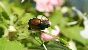 japanese beetles life cycle japanese beetles in a vegetable garden garden guides