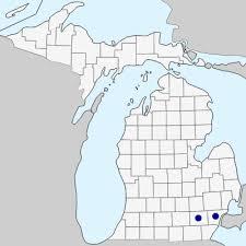 Neslia paniculata - Michigan Flora