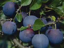 Japanese Plum Santa Rosa The Mostwidely Grown Plum Selffertile Plum Fruit Tree Varieties