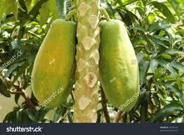 Jabuticaba The Tree That Bear Fruits On Its Trunk  Amusing PlanetTree Bearing Fruit