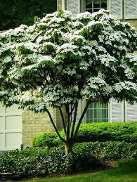 average american flower size buy flowering trees online the tree center