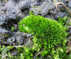 likely a species of bryum