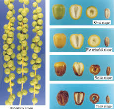 4 Different Growth And Maturity Stages Of Date Fruit