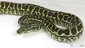 pictures zebra jungle carpet python41 carpet