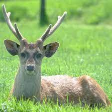 deer dream interpretation spirit