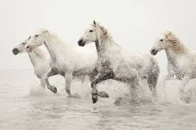 white horses running in water. Unique Water Horse Photography White Horses Running In Water Art Camargue  Winter For In Water