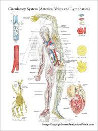 Circulatory System Arteries Veins Lymphatics Poster
