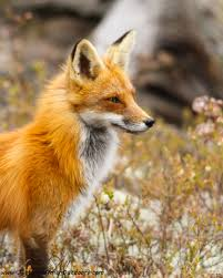 fox pictures to print. Unique Print Red Fox  Print 19 Throughout Pictures To A