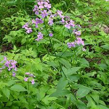 Hesperis matronalis (dame's-rocket): Go Botany
