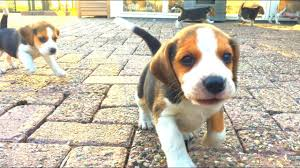 cute beagle puppies. Brilliant Puppies Cute Beagle Puppies Playing Outside For The First Time Puppy Marie To H
