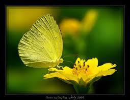 Image result for bướm vàng hút nhụy hoa