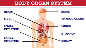 This includes the limbs and appendages. Organs Of The Body Internal Organs Of Human Body Body Parts Name शर र क अ ग क न म Youtube