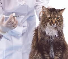 bệnh đái tháo đường ở mèo