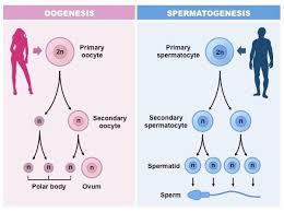 Gametogenesis Bioninja