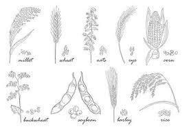 Granen Vector Iconen Rijst En Tarwe Maïs En Haver Rogge En Gerst