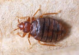 Bedbugs Images How To Get Rid Of Bed Bugs Signs Treatment And What Bites Look