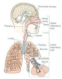 Anatomy clipart respiratory system - Pencil and in color anatomy ...