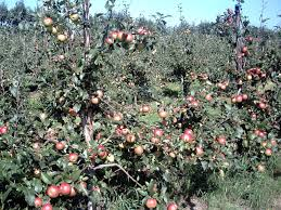 Growing Fruit Trees  Hints And Tips  RealenglishfruitWhen Do You Plant Fruit Trees