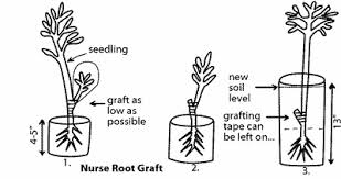 UPDATE ON DELAYED INCOMPATIBILITY WITH GRAFTED FRUIT TREESHow To Graft Fruit Trees With Pictures