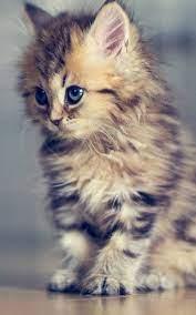 Kitten Wallpaper For Android ...