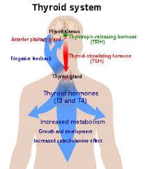 Hypothyroidism Pathophysiology Flow Chart Hypothyroidism Wikipedia