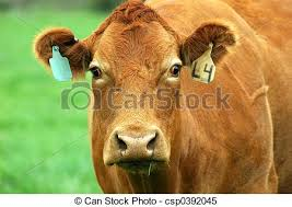 brown cow face. Delighful Face Brown Cow  Csp0392045 Intended Face N