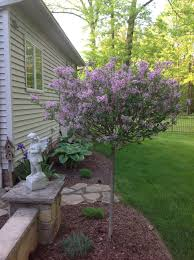 Lilacs In Landscape Design Lilac Tree I Love The Way This Is Pruned Lilac Tree