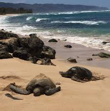 Laniakea Beach Oahu Hawaii A Must See In Laniakea Beach