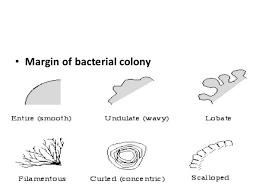 Colony Morphology Of Various Bacteria Laboratoryinfo Com