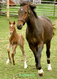 baby horses playing.  Baby Baby Mother Two Brown Running Horses Playing On Grass On Baby Horses Playing I
