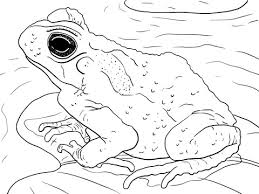 Small Picture Juvenile Cane Toad coloring page Free Printable Coloring Pages