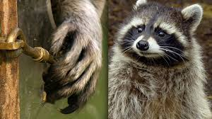 Racoon Demonstrates Problem Solving Skills | Earth Unplugged ...