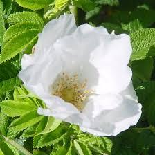 rosa rugosa jacruwhi wild spice rose