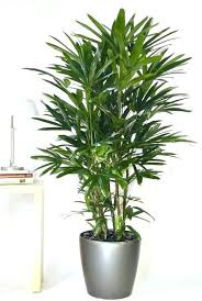 tall office plants. Delighful Plants Division  For Tall Office Plants