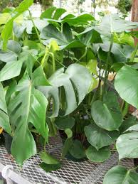 large leaved glossy green split leaf philodendron plant to enlarge