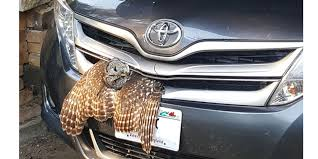 Owl rescued in Trempealeau Co. after getting stuck in car