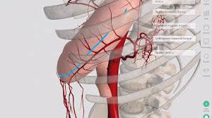 Image result for blood supply to digestive system