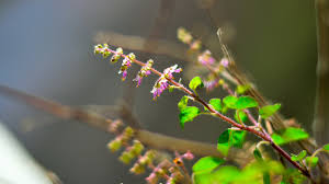 Image result for holy basil photo