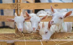 Dairy Goat Breeds Dairy Goat Breeds Simple Living Country Gal