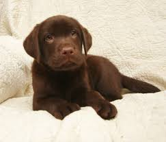 chocolate lab puppies. Exellent Puppies Chocolate Lab Puppy Laying At Hidden Pond Labradors And Puppies L