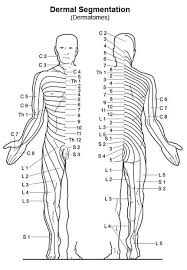 Orimtec Illustration Dermal Segmentation
