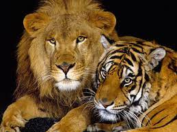 Wallpaper Lion And Tiger Images