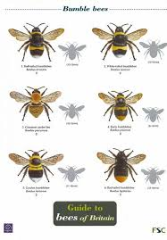 Bee Identification Chart Uk Id Chart Guide To Bees Of Britain